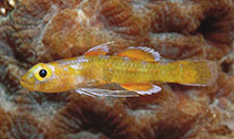 Image of Trimmatom macropodus (Bigfoot dwarfgoby)