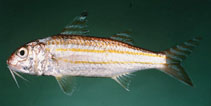 Image of Upeneus quadrilineatus (Four-stripe goatfish)