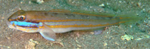 Image of Valenciennea limicola (Mud goby)