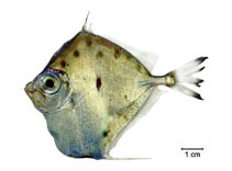 Image of Xenolepidichthys dalgleishi (Spotted tinselfish)
