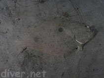 Image of Xystreurys liolepis (Fantail flounder)