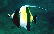 Image of Zanclus cornutus (Moorish idol)