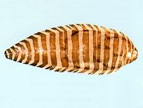 Image of Zebrias cancellatus (Harrowed sole)