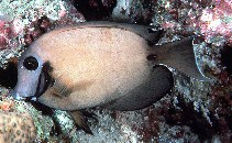 Image of Acanthurus tristis (Indian Ocean mimic surgeonfish)