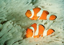 Image of Amphiprion ocellaris (Clown anemonefish)