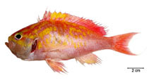 Image of Anthias menezesi