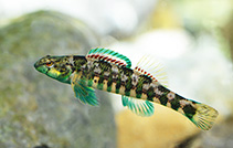 Image of Etheostoma zonale (Banded darter)