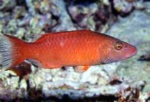 Image of Oxycheilinus digramma (Cheeklined wrasse)