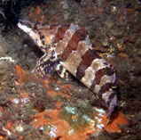 Image of Oxylebius pictus (Painted greenling)