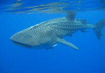 Image of Rhincodon typus (Whale shark)