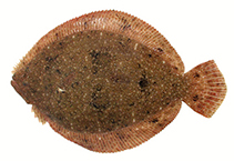 Image of Scophthalmus rhombus (Brill)