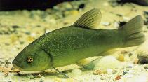 Image of Tinca tinca (Tench)